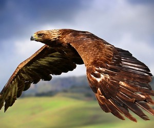 Golden Eagle GoPro