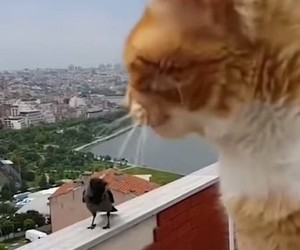 Lost in Translation: Conversation cat and crow