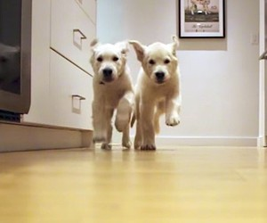 Two Golden Retrievers grow in time-lapse